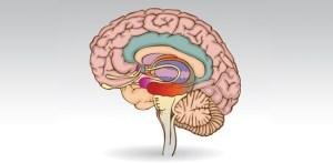 BrainUp-Resize_Brain