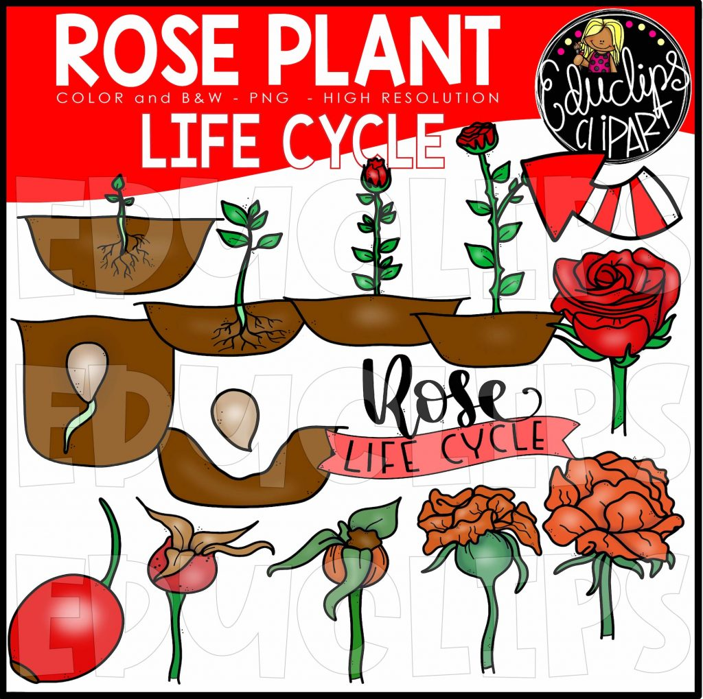 Rose Plant Life Cycle Clip Art Set