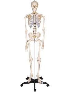 schelet uman