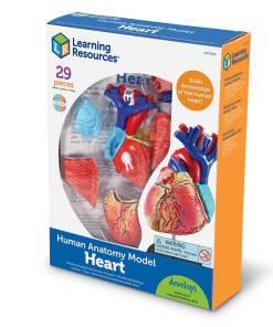 3334 heart model box nbr lft sh 2