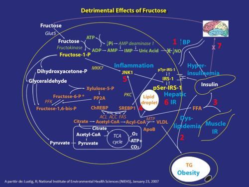 Fructosa bioquimica