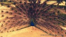 El pavo real y su colorista despliegue