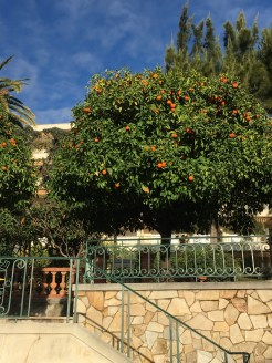 Oranges on the trees (February)