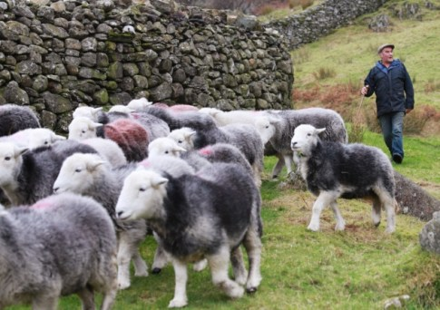 Glenn Wilkinson herds his flock of Herdwick sheep