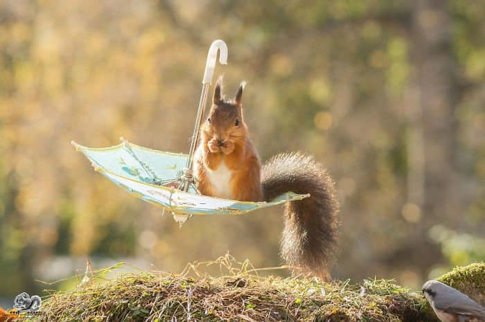 A squirrel seemingly flying on an umbrella upside-down