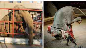 Photos Show Cruel Life These Elephants Endure In A Traveling Circus