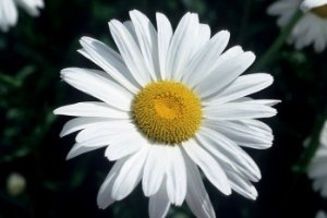 Ways to Stop Homeschool Doubt, daisy