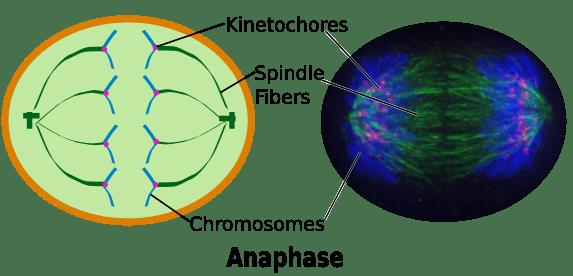 Anaphase Definition  Concept  Video  Lesson Transcript