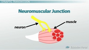 The Neuromuscular Junction: Function Structure ...