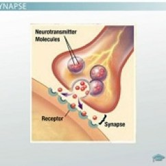 Synapse Diagram Label R32 Rb20det Wiring The Neuromuscular Junction: Function, Structure & Physiology - Video Lesson Transcript | Study.com