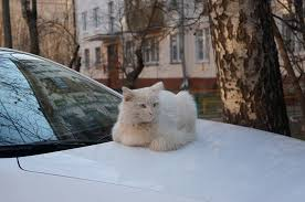 How to  travel safely with  your pet cats in a car?