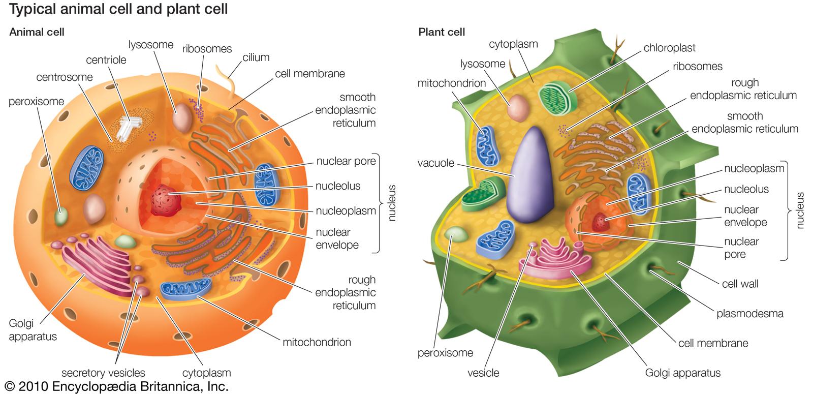 hight resolution of plant cell v animal cell venn diagram