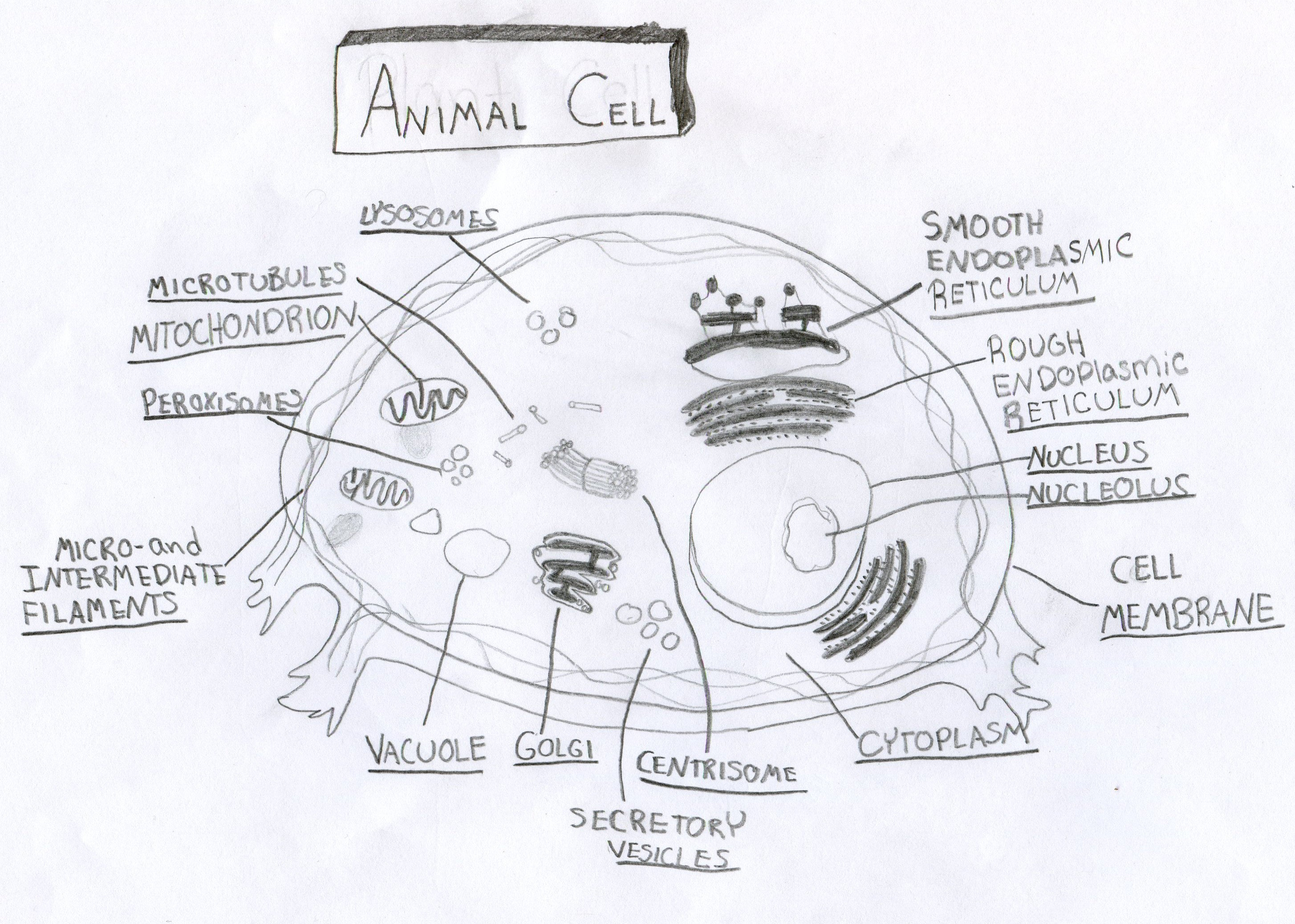 Secretory Vesicles Animal Cell