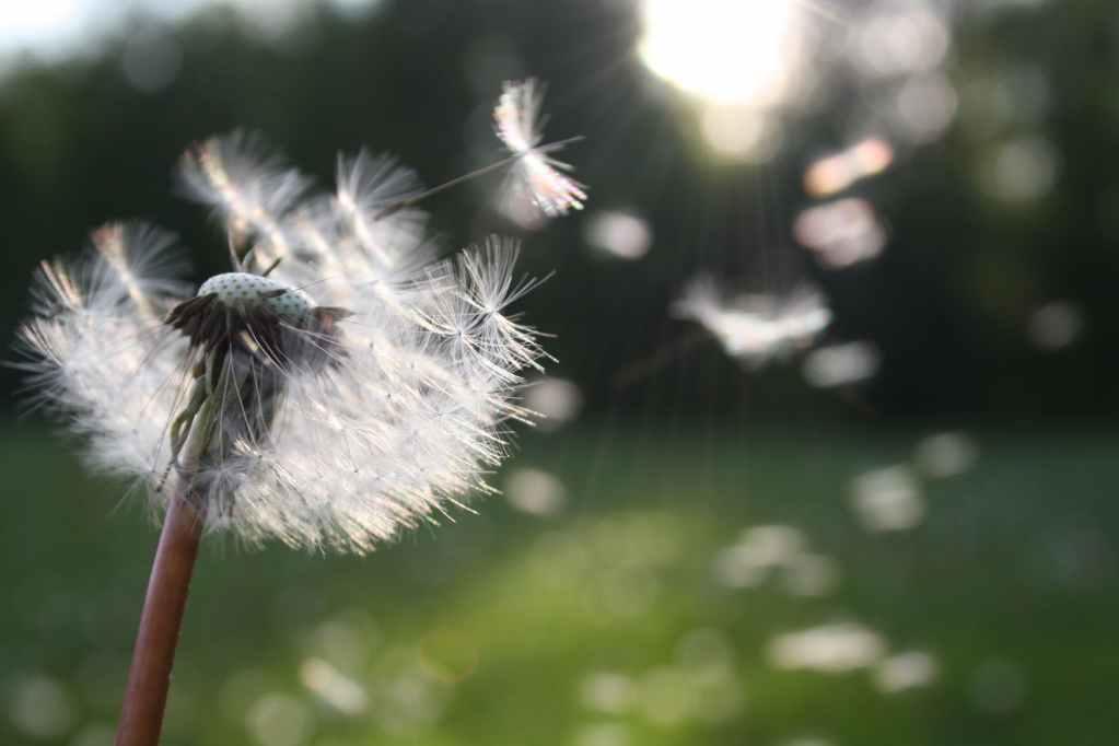 white dandelion flower shallow focus photography