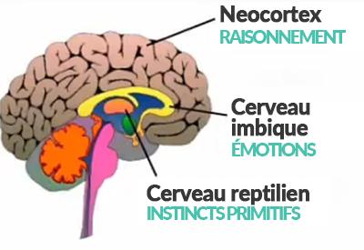 Schéma des 3 cerveaux (reptilien, limbique, neocortex)