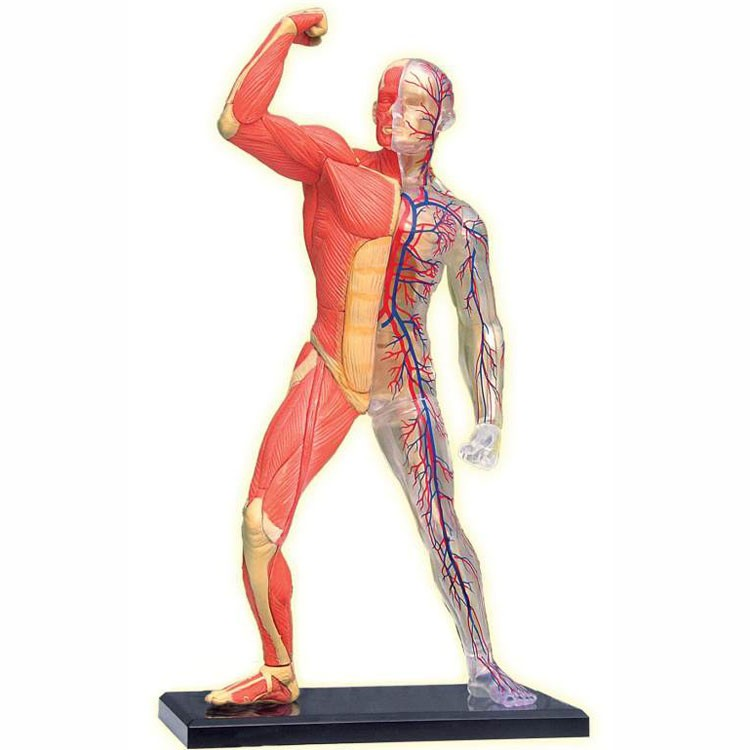 human skeleton and muscles diagram wolo dixie horn wiring 4d anatomy model educational toys planet