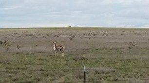 antelope-looking-at-me-roswell-nm