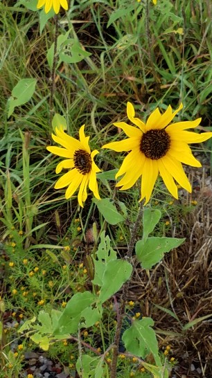 more-sunflowers-encino-nm