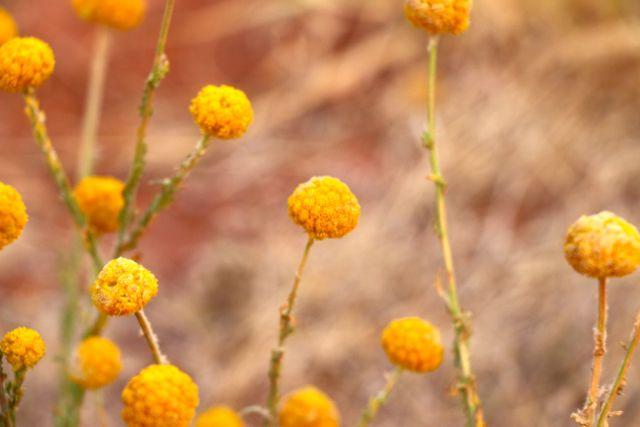 Uluru- desert flowers