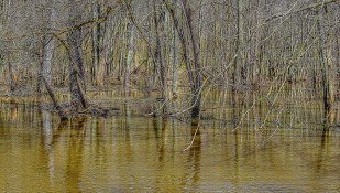 Flooded Woods in Spring