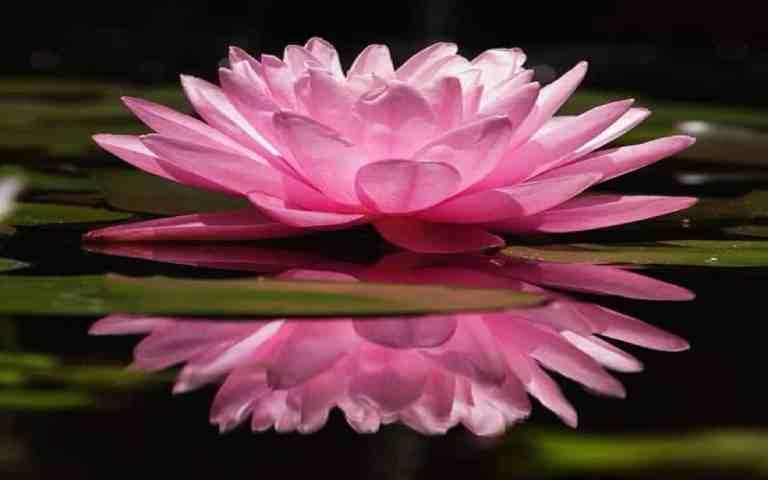 de lotus bloem