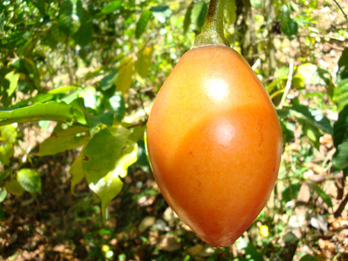 The Endangered Tree Tomato
