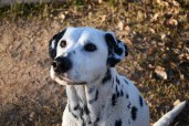 Annie, a 15-year-old dalmatian, stares at her owner at Steele Indian School Park in Phoenix, Arizona on January 31, 2017.