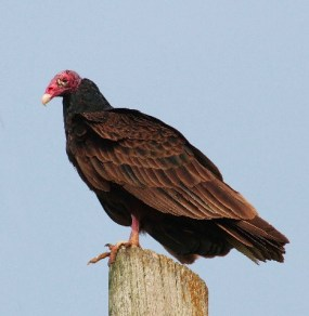 Much like myself, turkey vulture looks better from a distance.