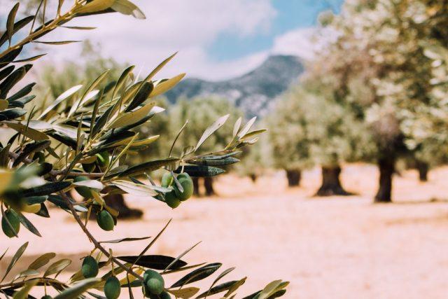 Olijfbomen Taris olijfolie / www.eenlepeltjelekkers.be
