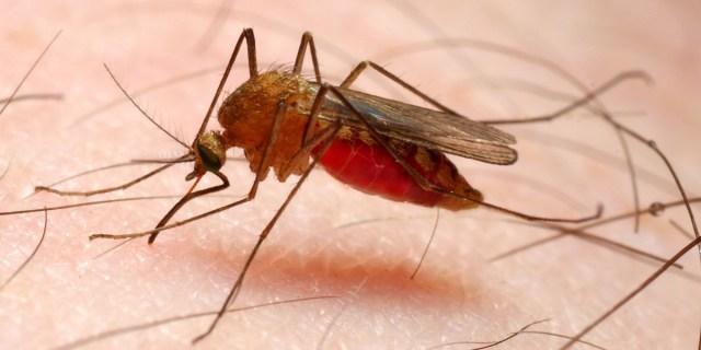 Soomes avastati sääsed, mis võivad levitada malaariat