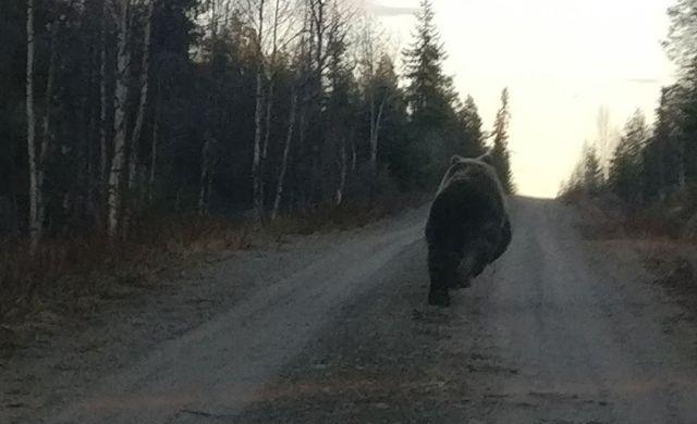 Kuusamos jooksis karu mitukümmend meetrit autol ees