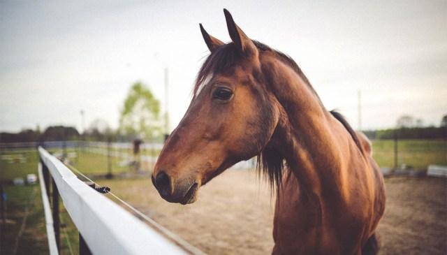 Šokeeriv juhtum Rootsis: hobusejuht vägistas hobuseid ja koeri