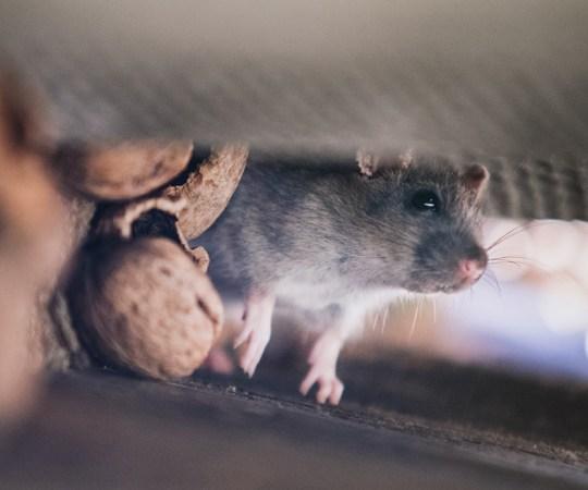 Kouvolas ollakse hädas rottidega – tungisid WC-pottide kaudu lasteaeda