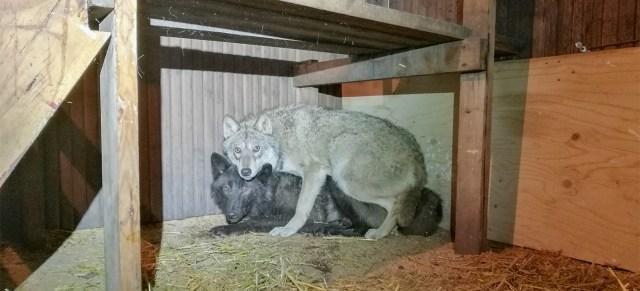 Soome politsei paljastas suure koerhuntide vabriku, kümned loomad pandi magama