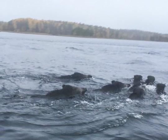 Soome kalameestele avanes erakordne vaatepilt: mööda ujus SEITSE metssiga