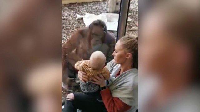 Liigutav hetk: oma poja kaotanud orangutang tuli loomaaias vaatama, kuidas ema oma last imetas
