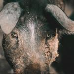 Kõhe metssea-jahi-video: jahil käinud naine pidi pärast tulistamist looma püssitoruga eemale nügima (NB! Nõrganärvilistele mittesoovitav!)