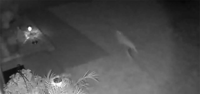VIDEO: Florida naine arvab, et nägi dinosaurust aiast läbi jooksmas