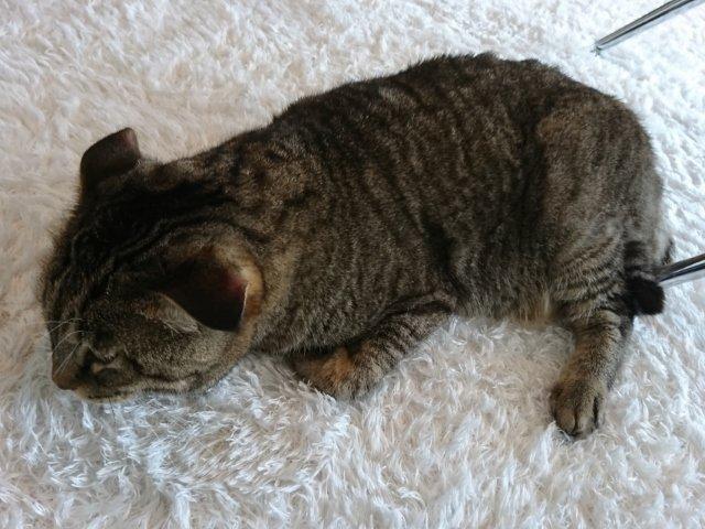 猫カフェモコモコの猫さん
