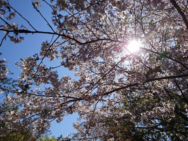五台山公園の桜