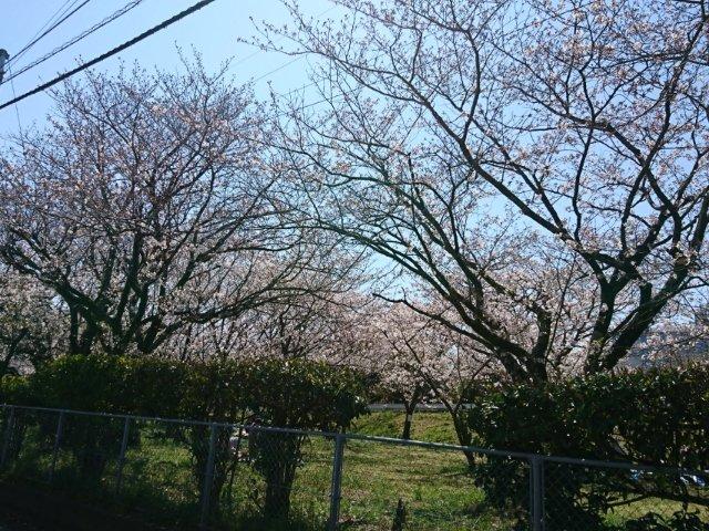 比島交通公園の桜1