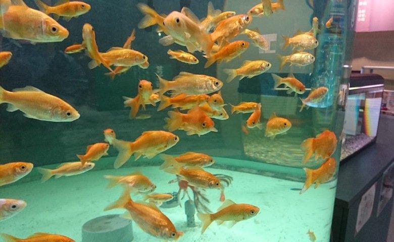 おさかな館:金魚