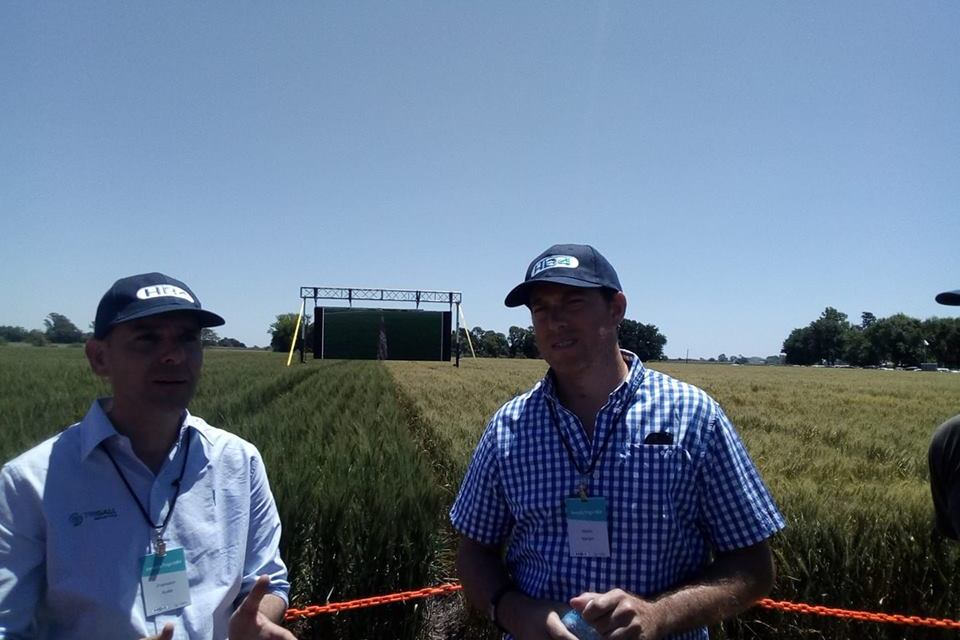 Will Argentina be the first country approving a GMO wheat?