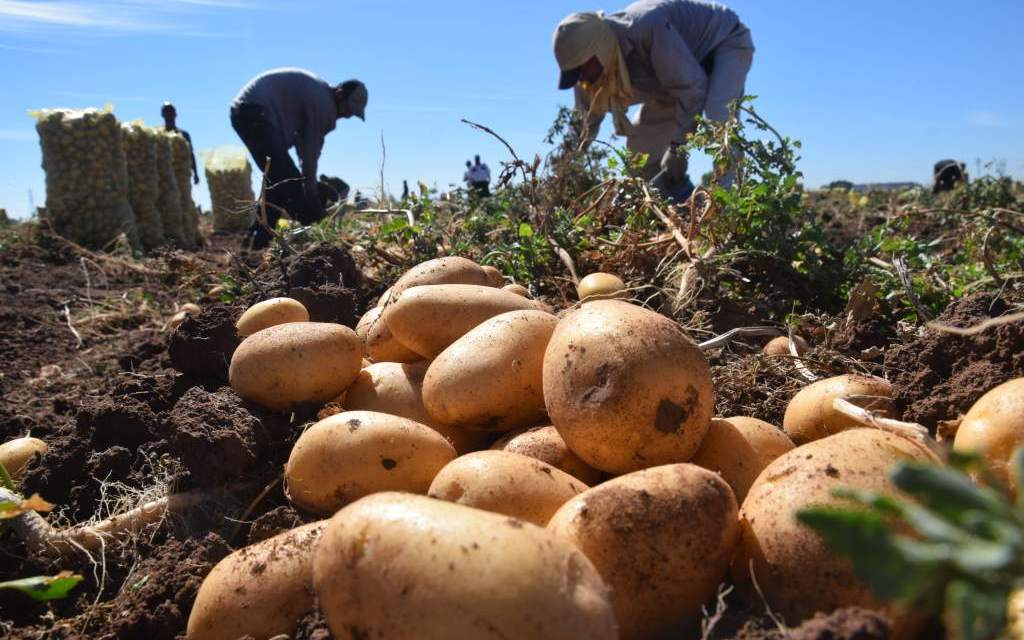 HZPC ready to launch new potatoes varieties for the fresh market