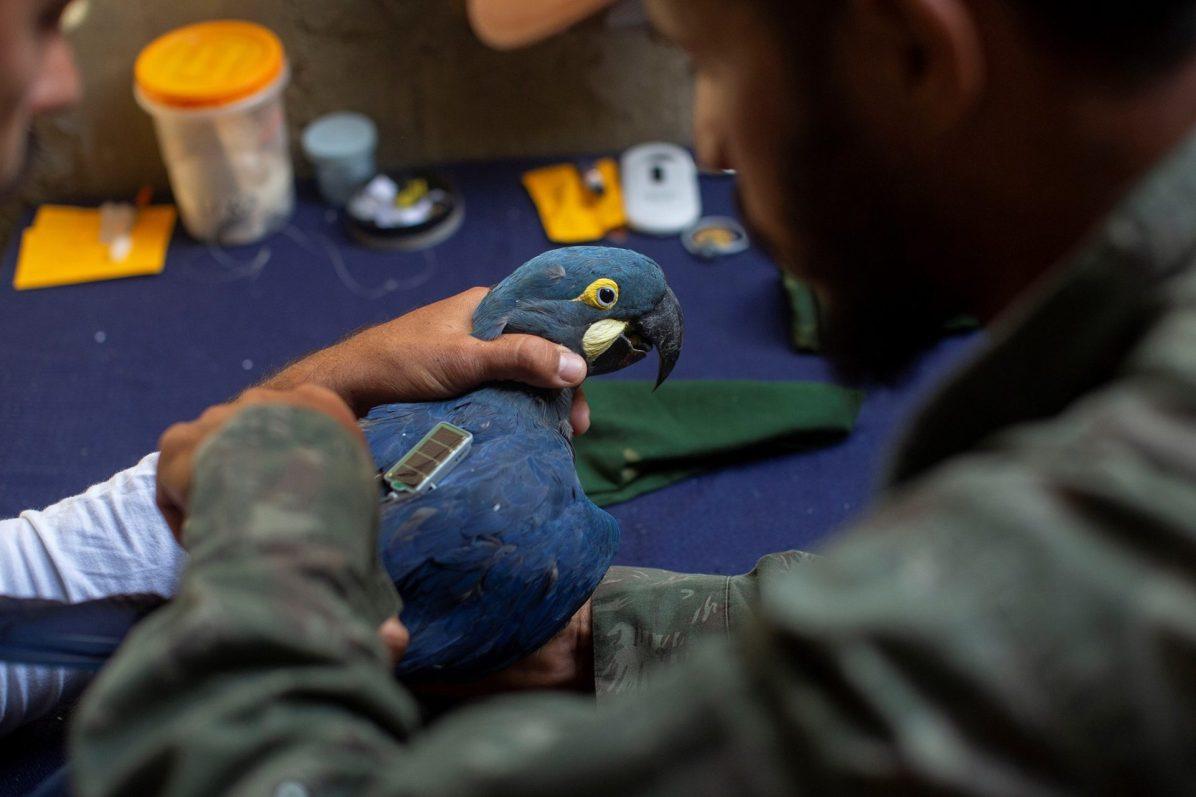 Las aves son equipadas con sistemas de seguimiento. Foto: Thiago Filadelfo