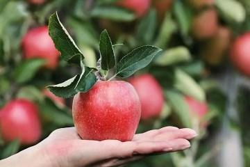 Fruta de un árbol en una mano