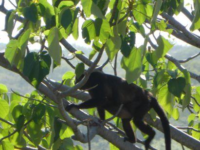 Howling monkey in a nearby tree