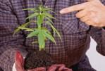 Marijuana: Les effets et les risques auxquels vous êtes exposé par la consommation