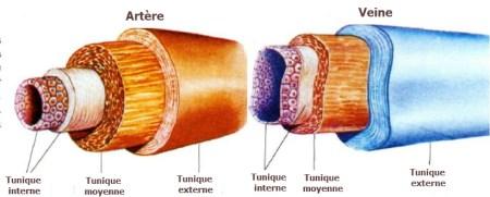 différence entre artères et veines, les veines, les artères