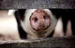 La première greffe d'organe de porc pour l'humain